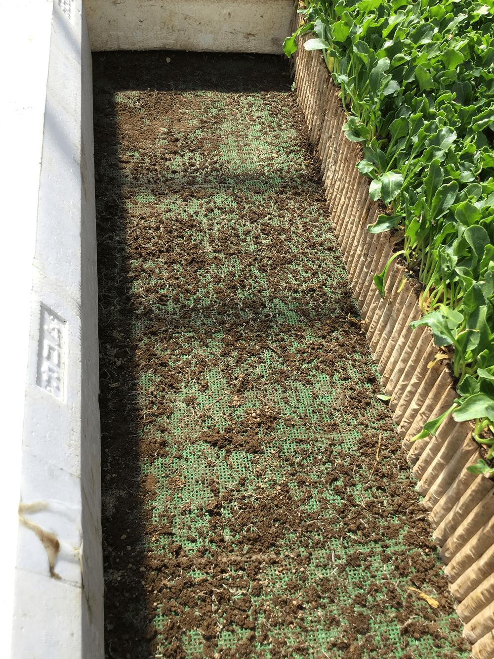 根きりマットに残っているビート苗の根